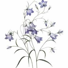Stipple engraving showing the bell-shaped flowers & arabesque-like stems of a species of Campanula