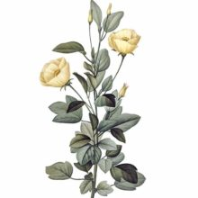 Stipple engraving showing the stem, leaves and pale yelow flowers of Cienfuegosia heterophylla