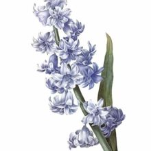 Stipple engraving showing the flowering stem and a leaf of a blue garden hyacinth