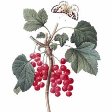 Stipple engraving showing a branch of redcurrant with bunches of fruit, leaves, and a butterfly