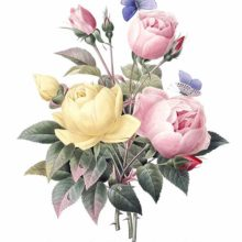 Stipple engraving showing a bunch of yellow Austrian briars and pink China roses