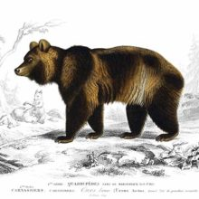 Steel engraving showing a brown bear seen from the side with cubs frolicking in the background