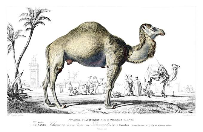 Dromedary seen from the side outside the walls of a middle-eastern city outlined in the background