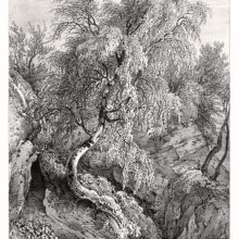 Plate showing a birch tree with a curvy trunk and lush foliage growing on a rocky slope