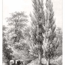 View of two poplars growing on the bank of a shallow stream in which two cows can be seen.
