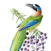 Amazonian motmot (Momotus momota), a bird in the family Momotidae, seen on a cluster of palm fruit