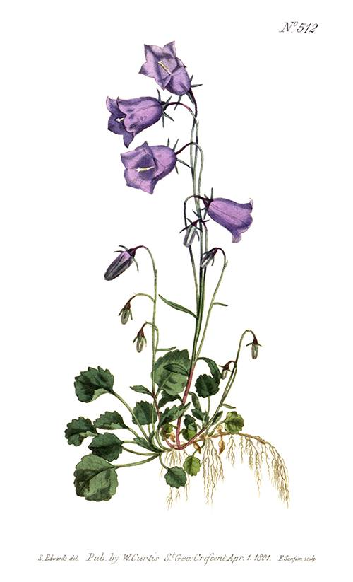 Hand-colored copper engraving showing the peach-leaved bellflower (Campanula persicifolia)