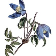 Hand-colored copper engraving showing the leaves and flowers of the Alpine clematis