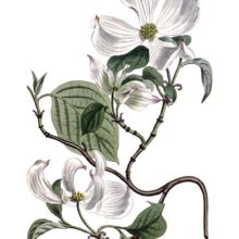 Hand-colored copper engraving showing a branch of flowering dogwood with flowers and leaves