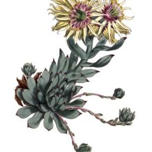 Hand-colored copper engraving showing the rolling hen-and-chicks, a succulent native to Europe