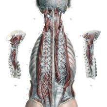 Anatomical plate showing a head and torso seen from the back, exposing the deeper muscle nerves