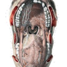 Anatomical preparation showing the inside of the mouth with the nerves made visible