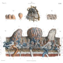 Plate showing the microscopic anatomy of the tongue with its layered structure and papillae