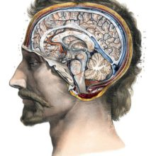 Head of a man seen from the side, showing a cross-section of the brain along the sagittal plane