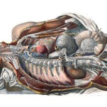 Anatomical preparation showing the sympathetic nervous system of a young man as seen from the right